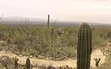 Saguaro1.160px
