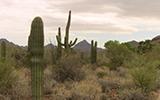 Saguaro2.160px
